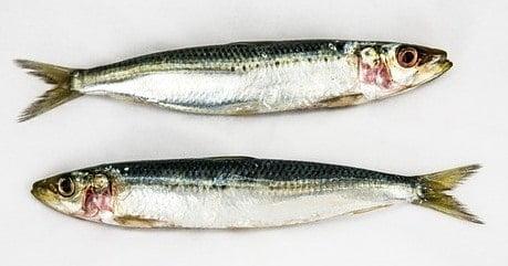 Sardines Fatty Fish is good for brain