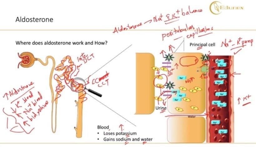 aldosterone functions